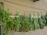 Zber byliniek